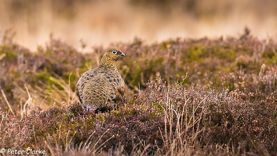 Red Grouse (F)