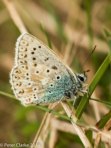 Chalkhill Blue - Femail