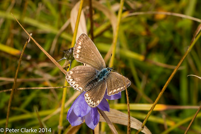 Chalkhill Blue - Female