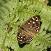 Specked Wood