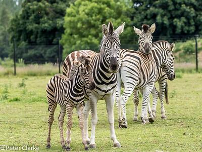 Chapman's Zebra