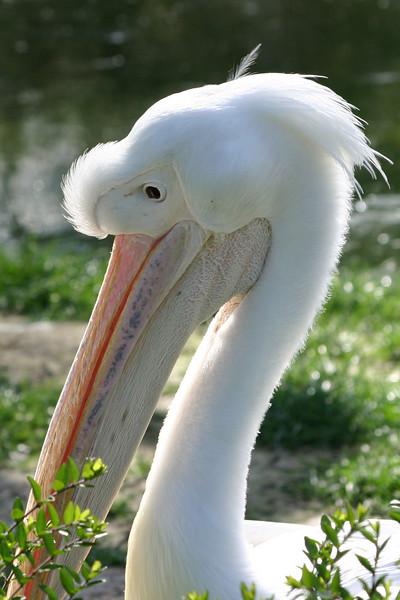 Pelican in St. James Park