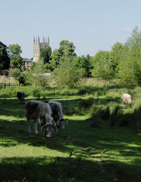 Cattle grazing in Christ Church Meadow Oxford