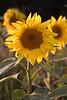 Sunflower Oxfordshire England