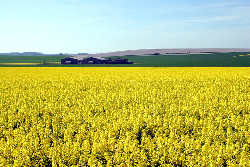 Oil seed rape field Oxfordshire