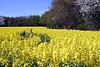 Oil seed rape field Oxfordshire