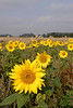 Field of Sunflowers Oxfordshire