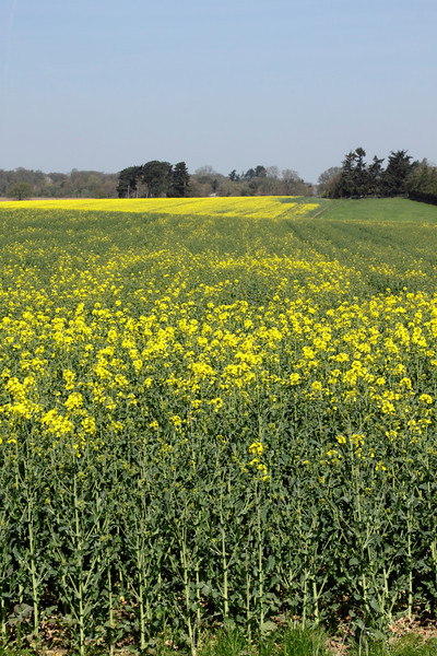 Oil seed rape field Shiplake Oxfordshire