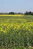 Oil seed rape field Shiplake Oxfordshire