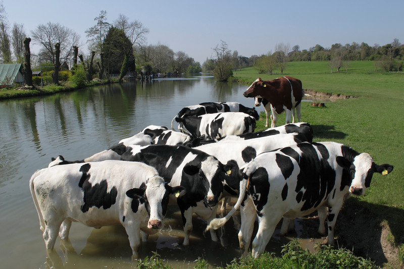 Cattle by the River Thames at Shiplake Oxfordshire