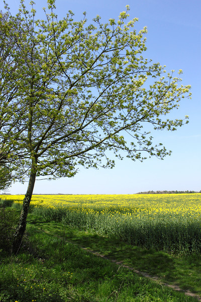 Spring tree and oil seed rape field Shiplake Oxfordshire