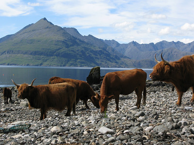 India?........Scotland also gets cows on the beach!