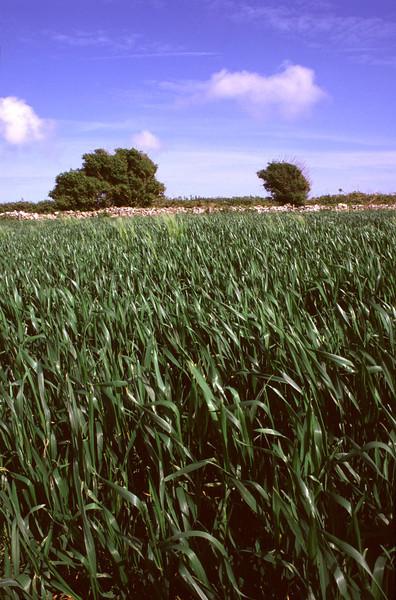 Maize field Dorset
