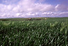 Maize field Dorset