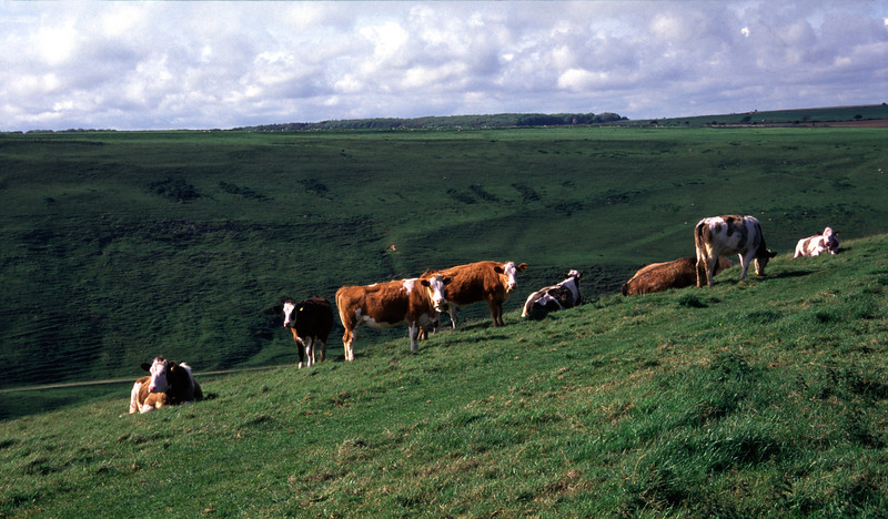 Cattle Dorset