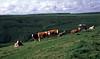 Cattle Dorset