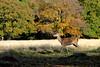 Young Deer at Richmond Park Surrey