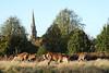 Herd of Deer Richmond Park Surrey