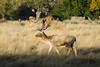 Stag Deer at Richmond Park Surrey