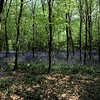 bluebell-woods-3