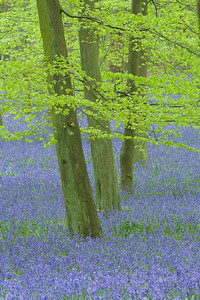 Bluebells and Beech forest Hertfordshire