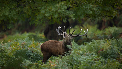 Red Deer stag in ferns, Richmond Park
