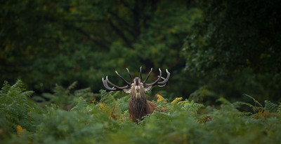 Red Deer stag in forest, Richmond Park