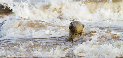 Seal in surf, Donna Nook