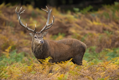 Red Deer stag in autumn ferns, Richmond Park
