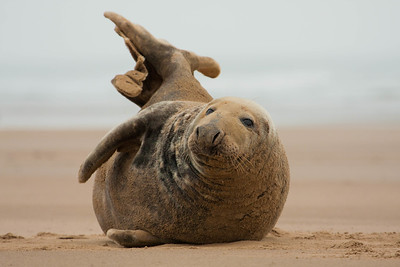 Seal on beach, Donna Nook
