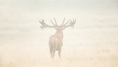 Massive Red Deer stag bellowing in morning fog, Richmond Park