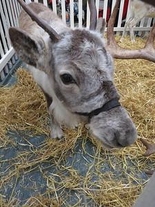 Reindeer in St Katherine docks - 18/12/15.