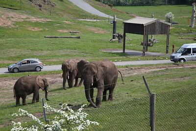 Passing the safari park near Kidderminster, 3 Elephants can be seen - 18/05/18