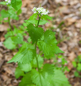 Middle Patuxent Garlic Mustard Pulling and Wildflower Walk
