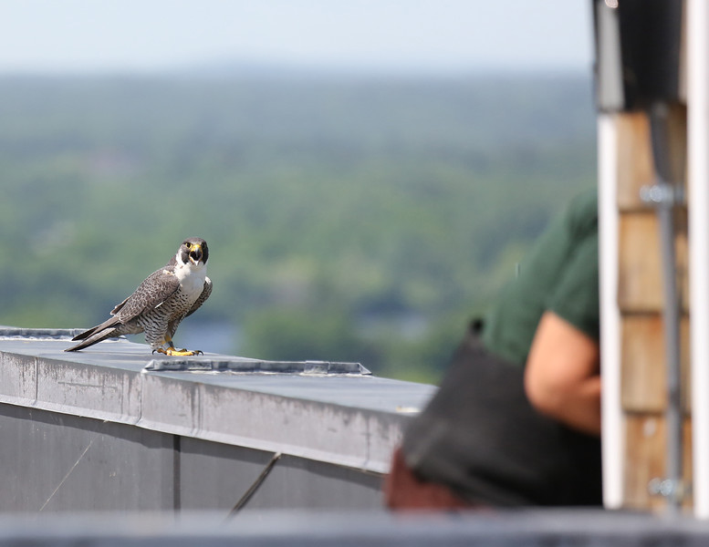 "UMass Lowell and the Massachusetts Division of Fisheries and Wildlife were on the roof of Fox Hall, the tallest building in Lowell, on Wednesday, June 8 to retrieve three peregrine falcon chicks from a nest box located there. During this process, the mother peregrine kept a watchful eye on Northeast District Land Agent Anne Gagnon, shown entering the nest. The chicks – the latest generation of UMass Lowell's ""real-life River Hawks"" – were fitted with metal identification bands so that they may be tracked. So far, more than 20 peregrine falcons, an endangered species in the state, have been produced by the pair that nests atop Fox Hall every spring. (Photo credit: Imelda Joson for UMass Lowell)"