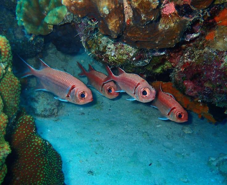 CARDINAL FISH