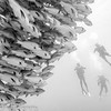 Divers, Red Sea with Bohar Snapper School, Red Sea