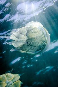 Sea jelly