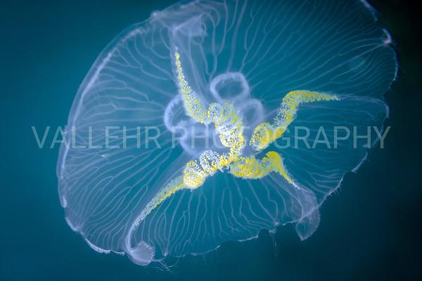 Jellyfish in blue