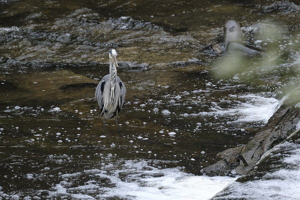 Grey Heron (Ardea cinerea) in Gala Water