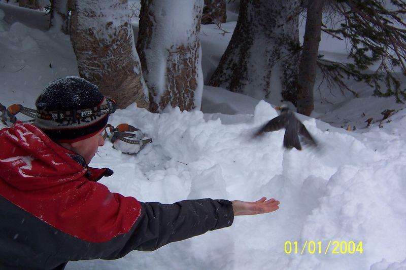 feeding a gray jay