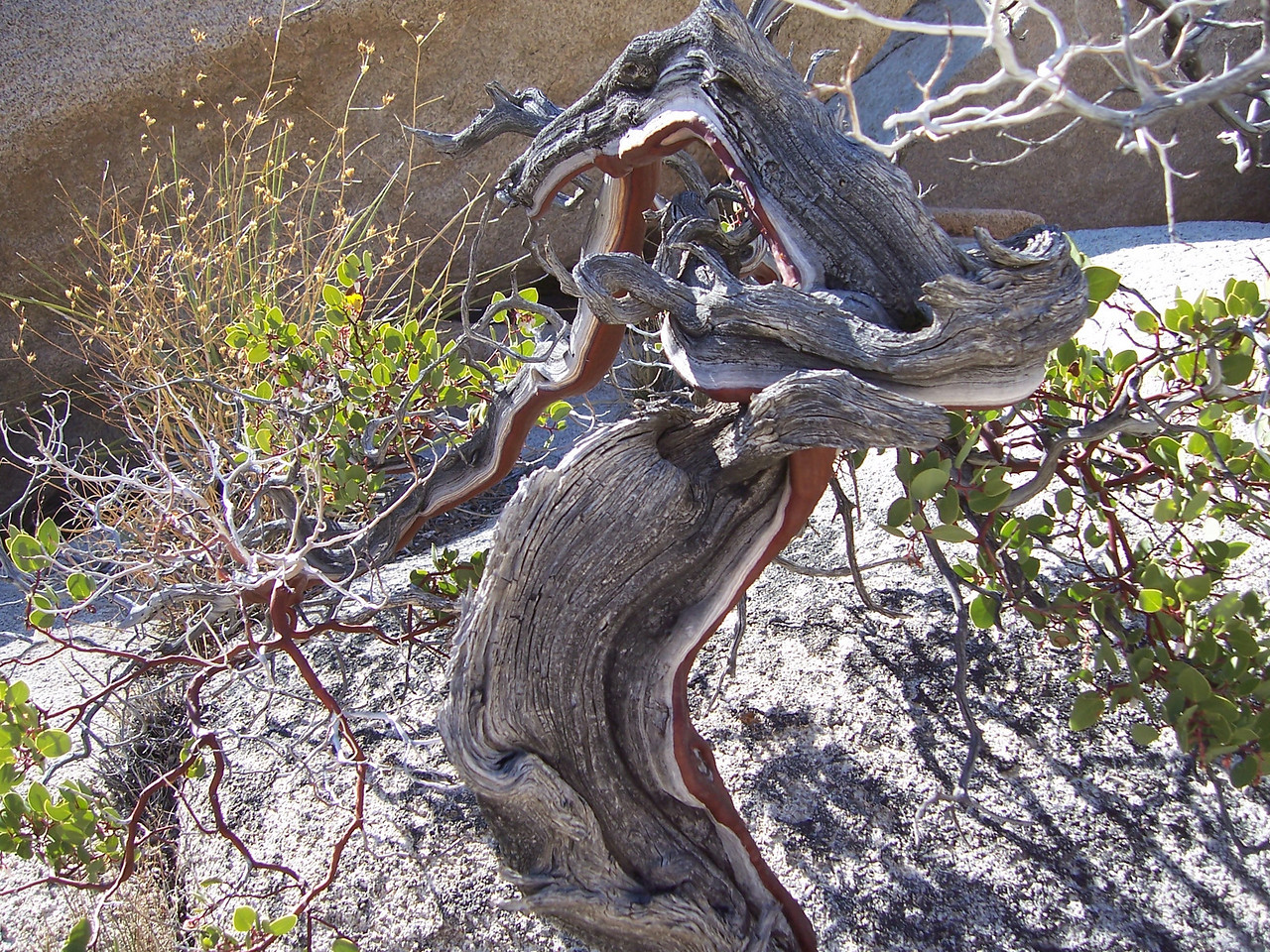 A really cool looking bush called Manzanita