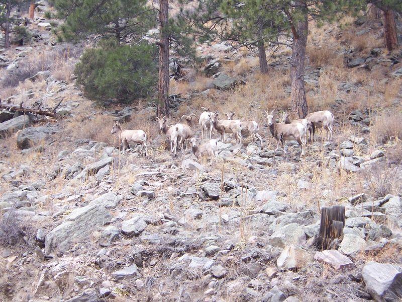 Rocky Mtn Sheep
