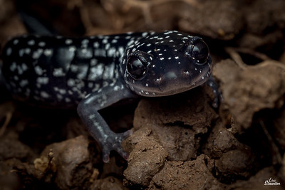 White-spotted Slimy Salamanders