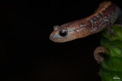 Eastern Redback Salamander