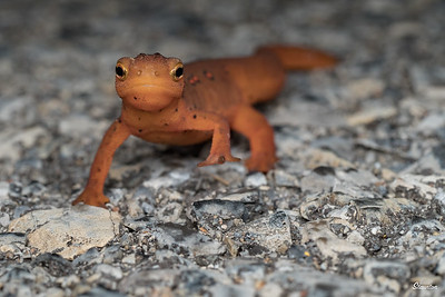 Eft of Eastern Newt