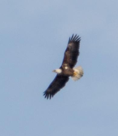 Bald Eagle, Lockport, Illinois, 03/01/15.