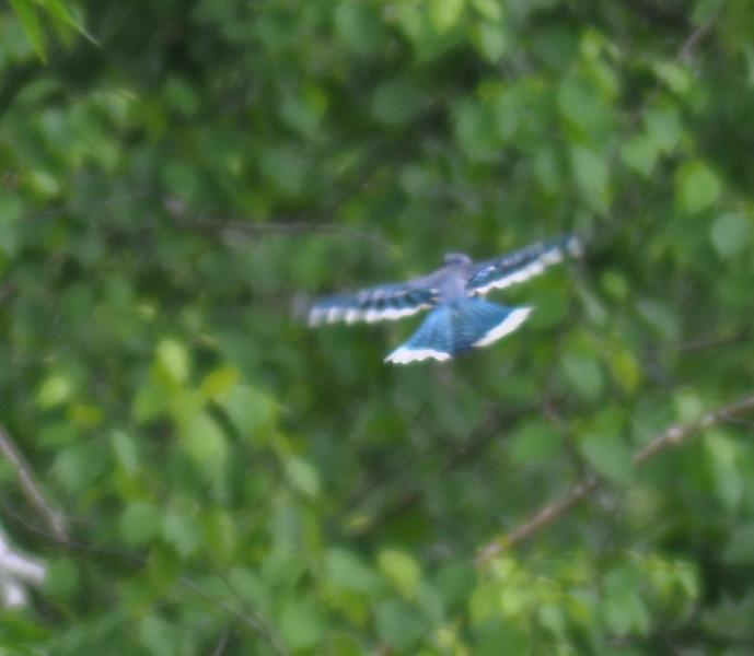 Blue Jay, Springbrook Prairie Forest Preserve, Naperville, Illinois