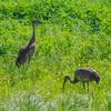 Sandhilll Crane, Deer Grove Forest Preserve, Palatine, Illinois