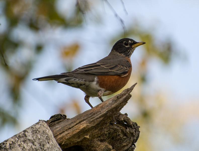 American Robin, Turdus migratorius, Springbrook Prairie Forest Preserve, Naperville, Illinois